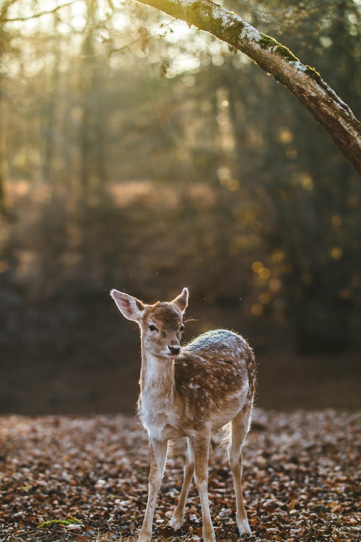 Reh steht im Wald